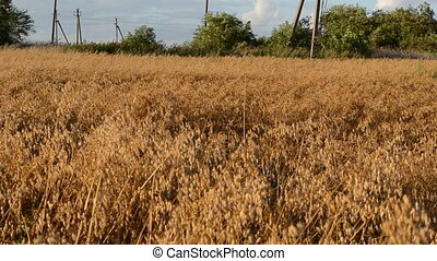 oat field autumn wind - ripe agriculture oat field move in...