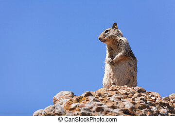 Grey squirrel - Western grey squirrel in the wild against a...