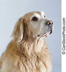 Dog, golden retriever and black labrador, studio portrait...