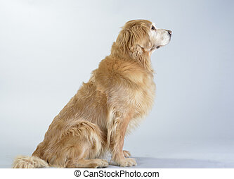 Dog, golden retriever and black labrador, studio portrait...