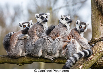 Lemur family - A family of ring-tailed Madagascan lemurs...