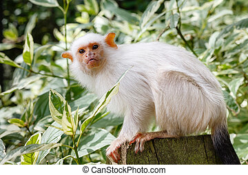 Silvery marmoset (Callithrix argentata) adult in captivity