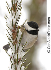 Chickadee perched on a snow covered tree.