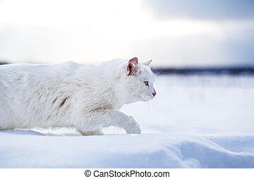 White cat walk in snow field