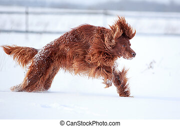 Red irish setter dog in snow field