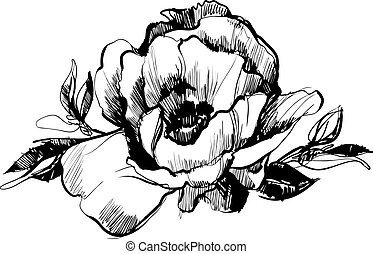 sketch  of bud  of flower of peony