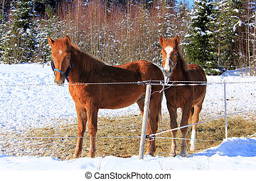 Two Young Finn horses - Two young Finn horses out in winter...