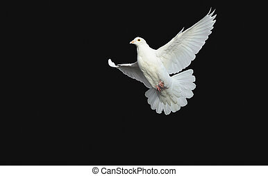 white dove in free flight with isolated black background