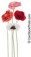 poppy - Studio Shot of Red and Orange Colored Poppy Flowers...