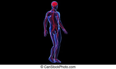 Anatomy: skin and nervous - The contours of the human skin...