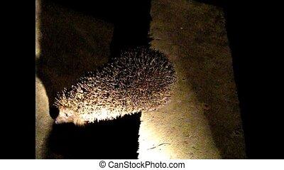 night hedgehog