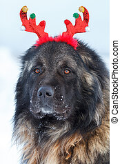 Caucasian Shepherd dog with antlers