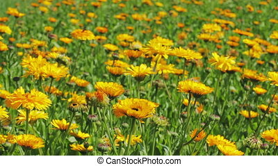 Calendula flowers in the park