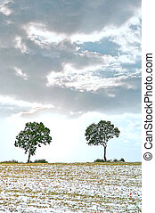 solitary trees in to the field - Two solitary trees in the...