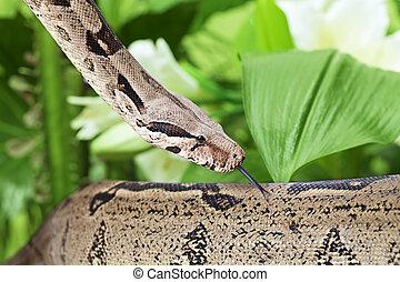 boa,  closeup, cobra