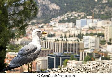 Albatroz, contra, Monaco