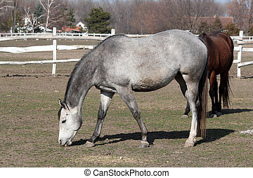 gray horse in corral
