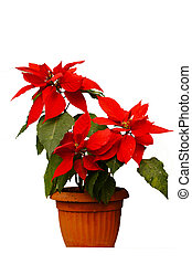 beautiful poinsettia with red flowers in flowerpot on the...