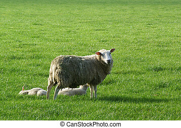 Sheep with two lambs. - Sheep with young lambs in a meadow.