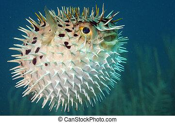 Blowfish or diodon holocanthus underwater in ocean in...
