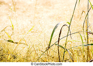 Dry Grass Field - Field full of soft dry grass Suggestive...