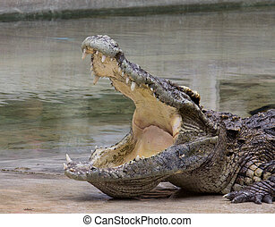 crocodile - Crocodile is half land half water animal...