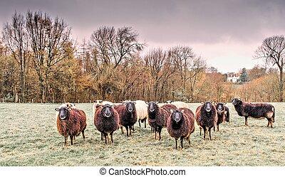 Flock of Welsh Badger face sheep - Flock of Welsh Badger...