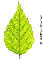 Isolated tree leaf