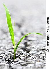 Grass growing from crack in asphalt - Green grass growing...