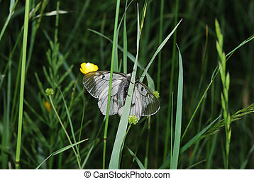 apollo butterfly on blade view middle - apollo butterfly on...