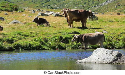 Cows. - Cows on pasture.