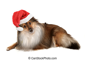 christmas dog portrait - beautiful furry purebred Shetland...