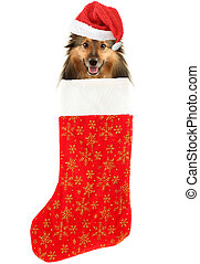 christmas stocking dog - sheltie with santa claus hat inside...