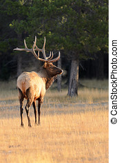 Rocky Mountain Elk - Male Elk or Wapiti Cervus canadensis...