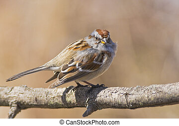 Eye contact - American Tree Sparrow