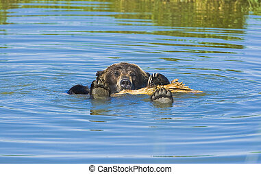 Bathing Grizzly bear on hot summer day