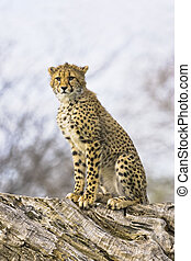 Young cheetah - full figure