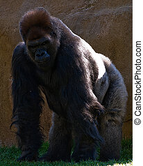 Silver back gorilla - Full grown male silver back gorilla...