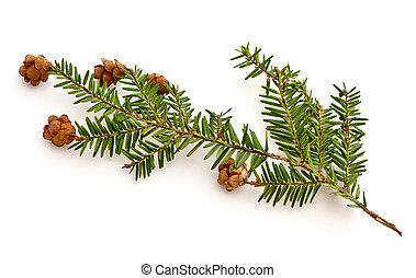 Hemlock - Eastern Hemlock Tsuga canadensis branch on a white...
