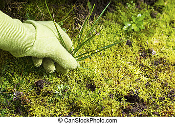 Removing Grass Weed Moss Garden - Horizontal photo of gloved...