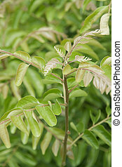 curry leaves plant - It is a small tree, growing 4u20136 m...