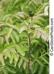 caril, folhas, planta