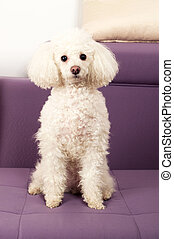 Poodle - White Toy Poodle sits on the sofa