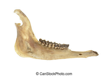 Deer jawbone - Closeup of deer jawbone isolated on white...