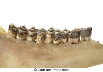 Deer teeth - Macro closeup of worn teeth of deer in jawbone...