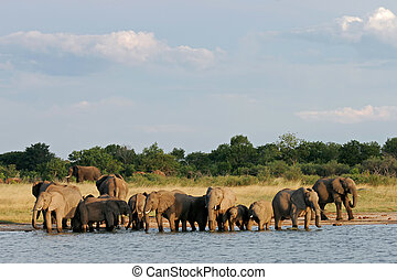 African elephants - Herd of African elephants Loxodonta...