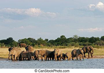 African elephants - Herd of African elephants (Loxodonta...
