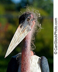 Marabou Stork close-up