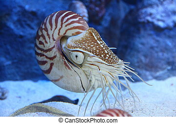 Nautilus with extended tentacles - Nautilus with tentacles...