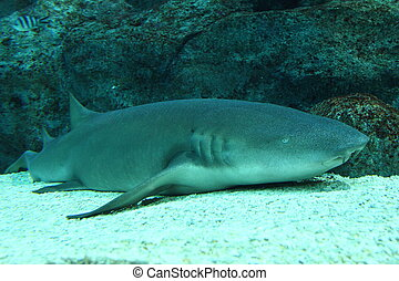 Nurse shark resting on bottom - Nurse shark Ginglymostoma...
